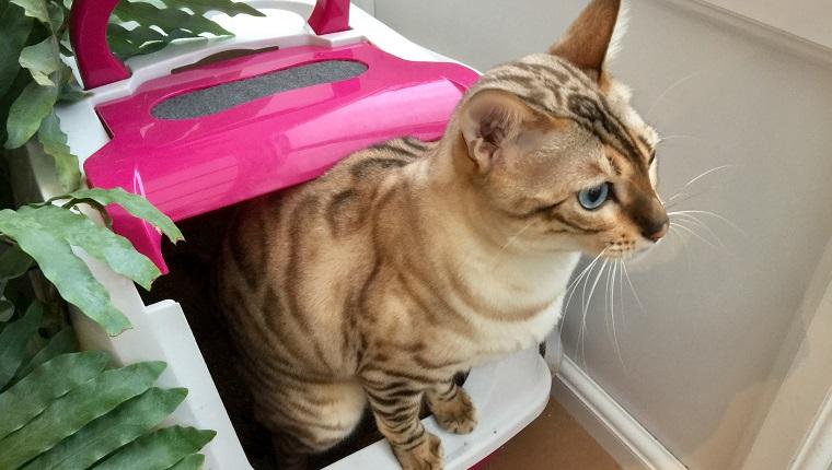 Bengal-Katze mit der Katzentoilette