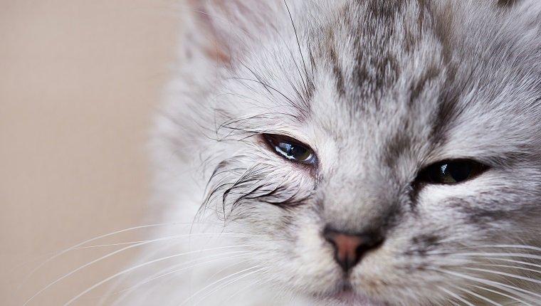 Infiziertes Auge der Katze. Wet Kitty Eye Nahaufnahme. Allergiereaktion bei Haustieren