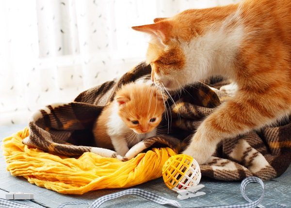 Ginger cat and kitten. Mother cat comes to take kitten to the safe place on Mother