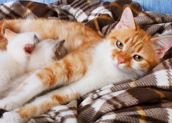 Ginger cat breastfeeding her little kittens. Motherhood, parenting, care. Orange cat nursing kittens at plaid blanket and blue rustic wood background. Kittens suck milk.
