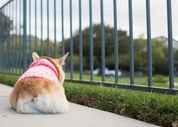 Pembroke welsh corgi dog lying down on pavement.