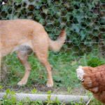 brown hen and brown dog out staring each other