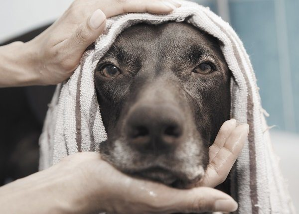 Close up portrait serious black dog being bathed