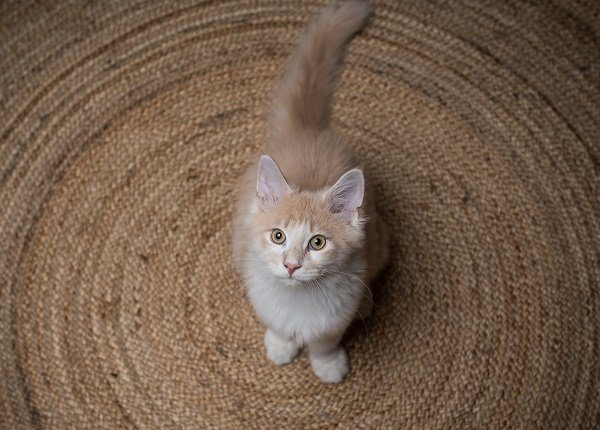 red cream colored maine coon kitten standing on a round carpet looking up
