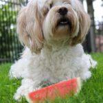 dog with watermelon