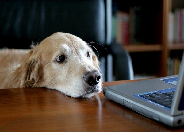 Photo of a golden retriever sitting in an office at a desk. This proves that any old dog can do an executive
