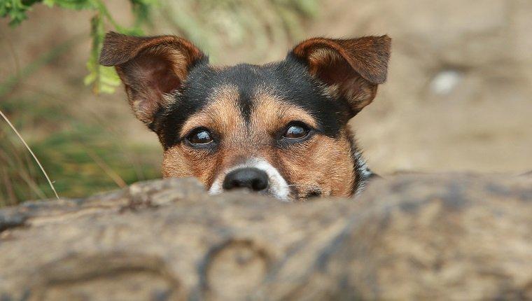 Terrier Welpe (Canis lupus familiaris)