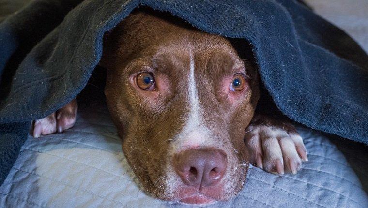 Erschrockener Hund, der auf einem Bett mit Kopf unter einer Decke liegt