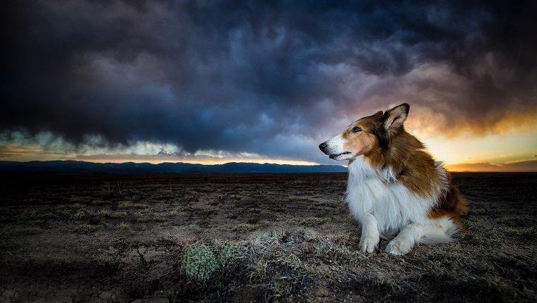 Ein Collie sitzt in einer Wüste in Süd-Colorado, als ein Sturm hereinbricht.