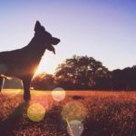 Silhouette dog standing on field at sunset