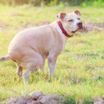 American Pitbull puppy shit on grass field