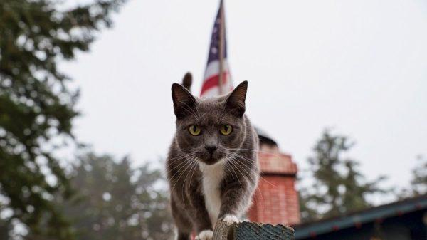Portrait Of Cat On Railing Against American Flag