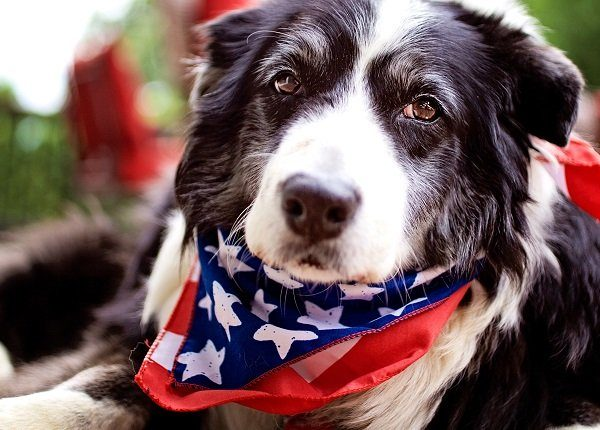 Border collie dog wearing a 4th of July scarf.
