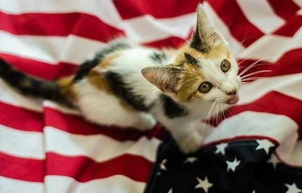 cat on american flag for 4th of July