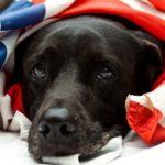 black Labrador mix wearing US flag