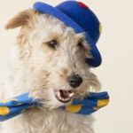 A fox terrier is dressed up like a clown and he