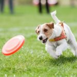 Jack Russell Terrier running on the grass after orange plastic disc