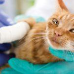 little cat with broken leg