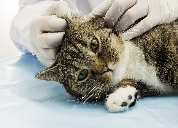 Veterinarian when treating ear mites in tiger cats