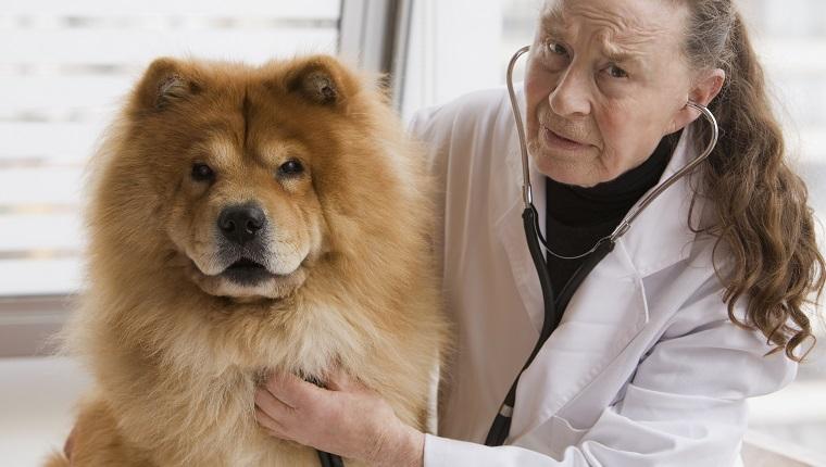 Chilenischer Tierarzt, der Hund eine Untersuchung gibt