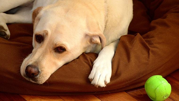 Labrador Retriever mit grüner Kugel