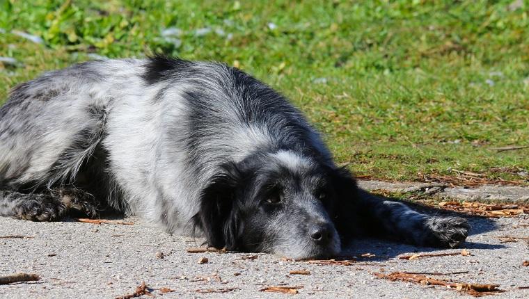 Trauriger Hund, der auf Fußweg liegt