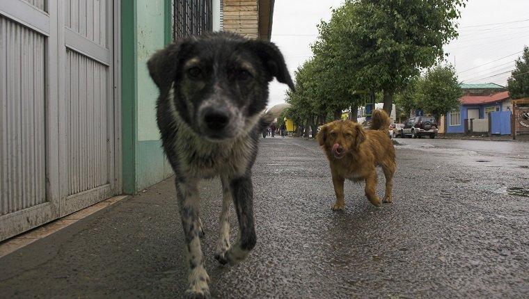 Verlassen Sie Hunde an der Straße in Puerto Natales, Chile, Südamerika
