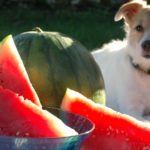 dog sitting outside on a blanket with water melon.