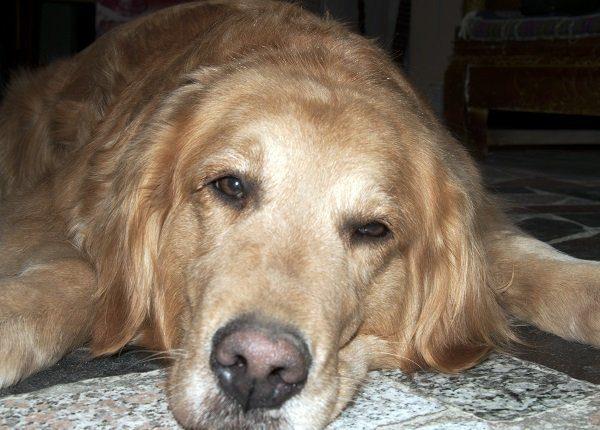 Listless dog closeup.