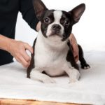3 year old Boston terrier is lying down on a massage table while receiving a therapeutic massage.