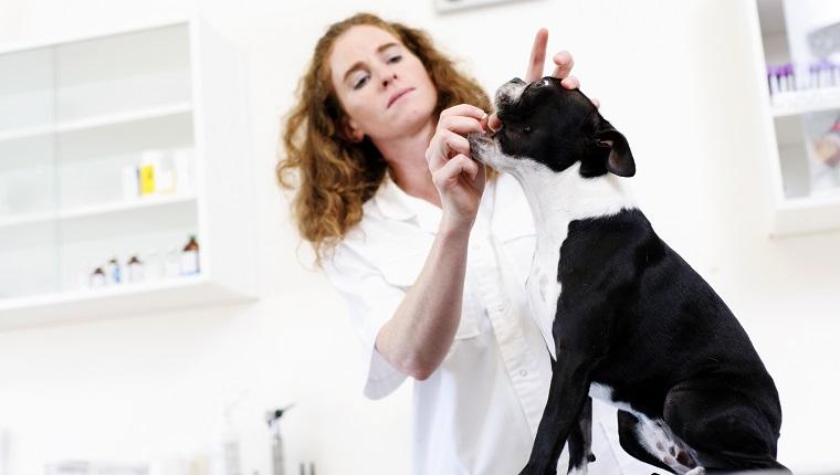 Tierarzt, der bereit ist, einem Hund eine Pille zu füttern