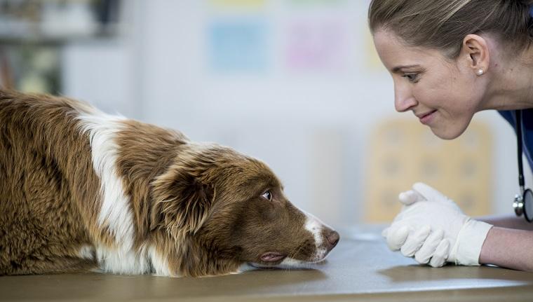 Eine kaukasische Tierärztin ist drinnen in einer Tierklinik. Sie trägt medizinische Kleidung. Sie will einen großen Hund untersuchen, der auf dem Tisch liegt. Sie betrachtet das Gesicht aus der Nähe.
