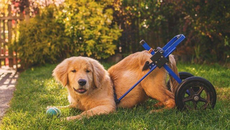Golden Retriever Welpe im Rollstuhl