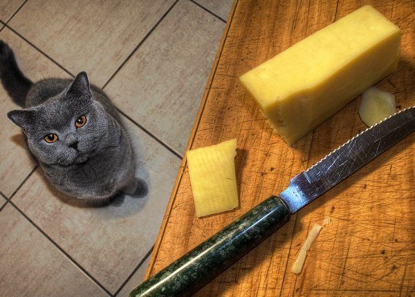 British shorthair cat in the kitchen waiting to be fed some of her favourite cheese.