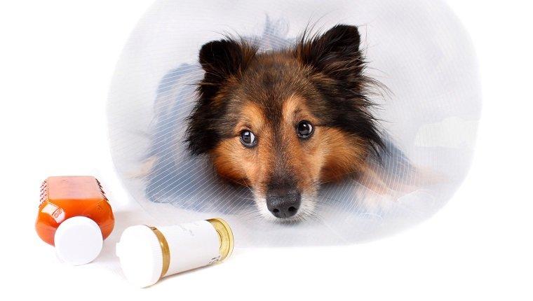 Kranker Sheltie oder Shetland-Schäferhund mit Hundekegelhalsband und Aspirin-Medizinflaschen im Vordergrund (NICHT ISOLIERT)