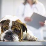 Sick Bulldog with leukemia on Veterinarian