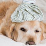 Golden Retriever Dog with pneumonia convalescing in bed