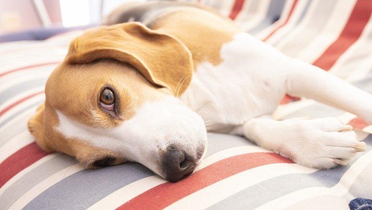 Ein Beagle-Hund, der auf dem Sofa ruht. Benötigt möglicherweise Mineralöl bei Verstopfung.