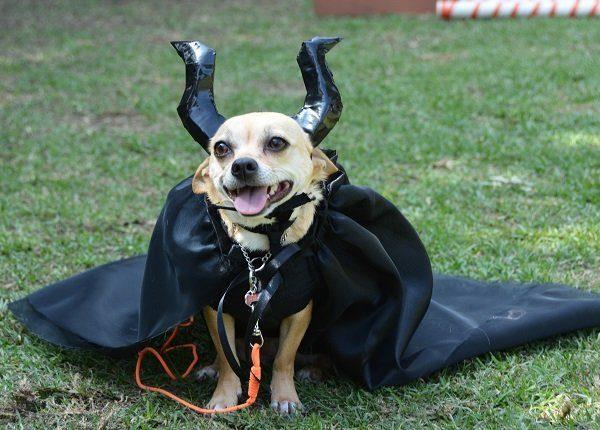 Cute chihuahua pet dog wearing a Maleficent