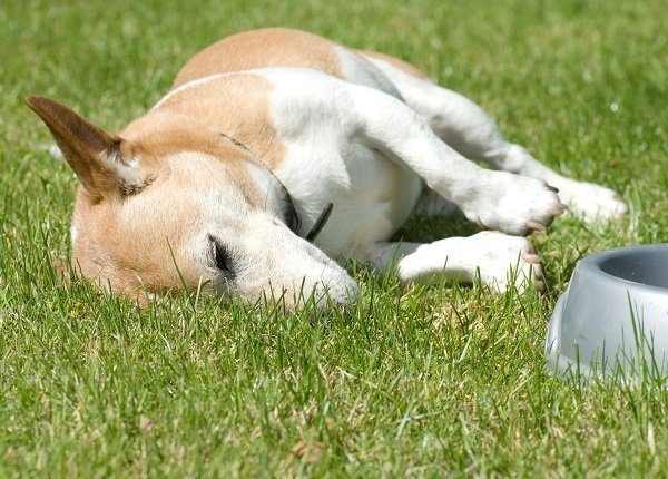 Jack Russell with full tummy as a rest.