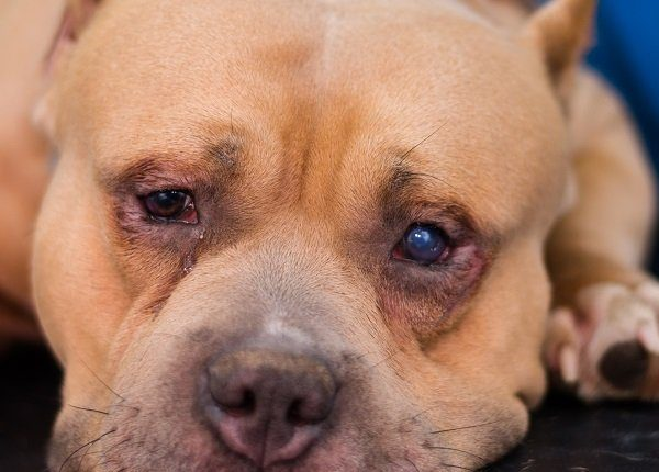 american bully dog breed with entropion and corneal ulcer prepared for surgery