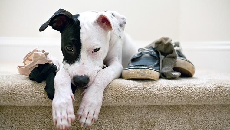 Ihr Hund jagt Schuhe und Unterwäsche - Werwölfe jagen Menschen