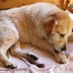 A 10-year-old senior female golden retriever licks her paw dry after swimming. May have lick granuloma.