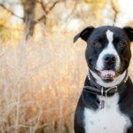 pit bull dog in field