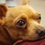 sad looking Chihuahua dog staring. may have open fontanel.