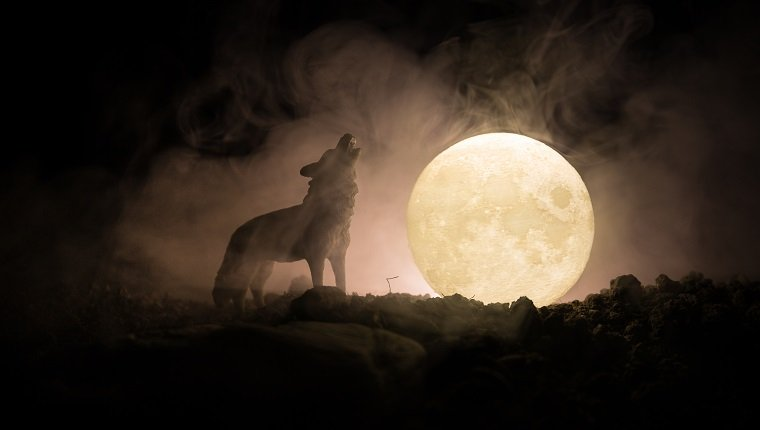 Silhouette des heulenden Wolfes gegen dunkel getönten nebligen Hintergrund und Vollmond oder Wolf in der Silhouette, die zum Vollmond heult. Halloween Horror Konzept. Selektiver Fokus