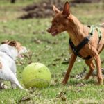 Two dogs fighting for a toy ball, Dogs In Danger