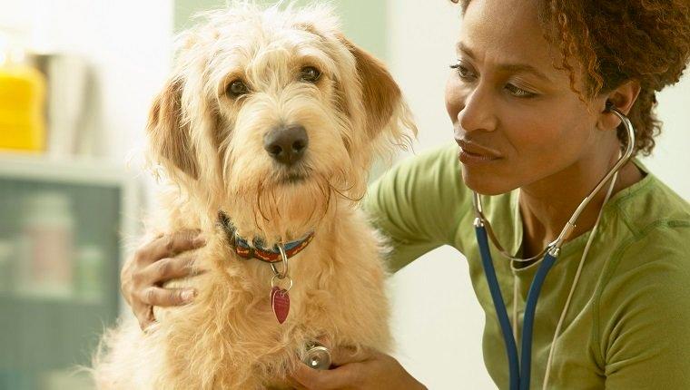 Tierarzt, der auf das Herz des ungepflegten Hundes hört