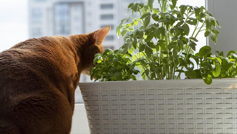 Microgreen auf der Fensterbank und neugierige Ingwerkatze in der Nähe. Sämlinge von Tomaten, Rucola, Basilikum