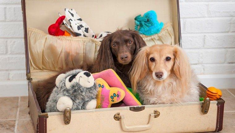 Zwei Dackel sind bereit, ihre Spielsachen in einen Koffer zu packen.
